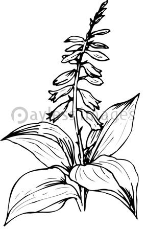 オオバギボウシの画像 p1_14