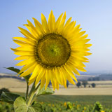 Sunflower+field%2C+Tuscany.