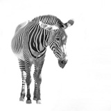 A+zebra+isolated+over+a+white+background.