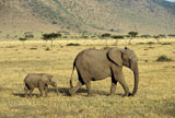 African+Elephant+and+Baby+Walking