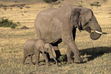 African+Elephant+Mother+and+Baby