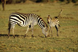 Burchell%27s+Zebra+Mother+and+Baby