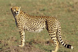 Cheetah+Standing+Still