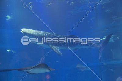 ジンベエザメの写真イラスト素材 Gf2440515705 ペイレスイメージズ