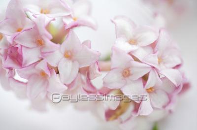 沈丁花の写真イラスト素材 Gf0780057011 ペイレスイメージズ
