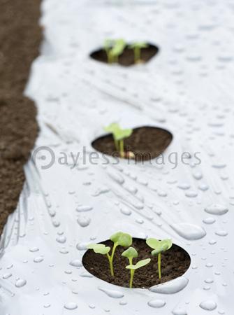 大根の発芽の写真イラスト素材 Gf1770757658 ペイレスイメージズ