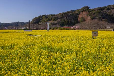 菜の花畑の写真イラスト素材 Gf0250761513 ペイレスイメージズ