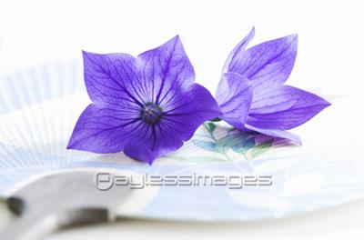 キキョウの花とウチワの写真イラスト素材 Gf0960087948 ペイレス
