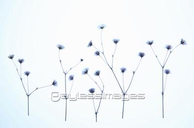 押し花かすみ草の写真イラスト素材 Gf1940107190 ペイレス