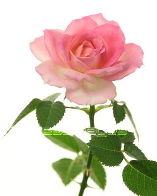 フリー写真 赤いバラとハート パブリックドメインq著作権フリー画像