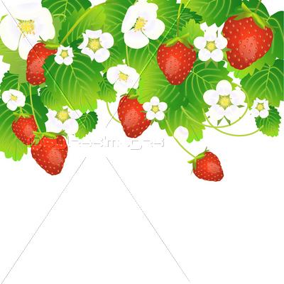 苺の実と花と葉 Strawberry Illustration ストックフォトの定額制ペイレスイメージズ