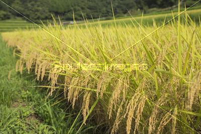 稲作の写真・イラスト素材 (xf06...