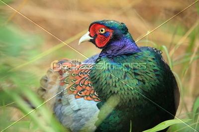 野生のキジの写真イラスト素材 Xf4445137600 ペイレスイメージズ