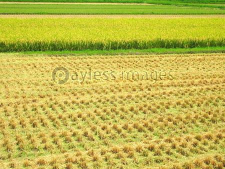 収穫前の田んぼと収穫の終わった田んぼの写真 イラスト素材