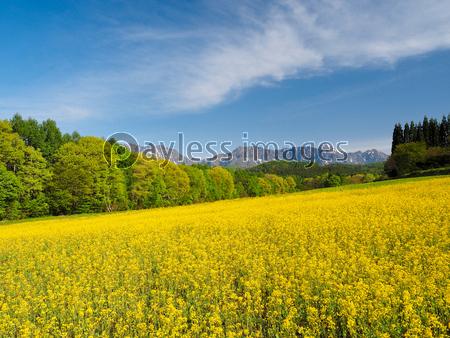 戸隠高原の菜の花畑の写真イラスト素材 Xf5455176361