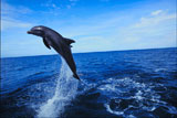 Bottle-nosed+Dolphin+jumping+in+water+%28Tursiops+truncatus%29
